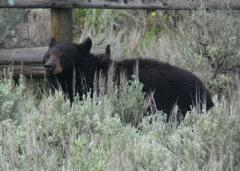 A black bear at Tower Junction in Yellowstone, seen on a Yellowstone tour from West Yellowstone.