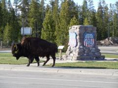 A buffalo passing through West Yellowstone in spring.
