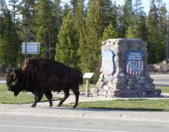 West Yellowstone buffalo