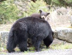 Yellowstone bear
