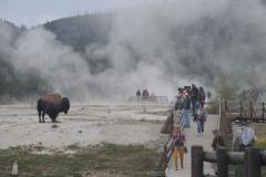 A bison at a geyser basin.