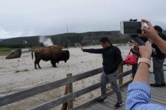 Tourists on a Yellowstone tour from West Yellowstone take pictures of a buffalo close to the boardwalk at Biscuit Basin.