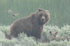 A grizzly bear and two cubs in Yellowstone.