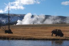 Buffalo next to the Firehole River, on a Yellowstone tour from West Yellowstone