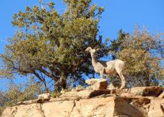 Zion tours - big horn sheep