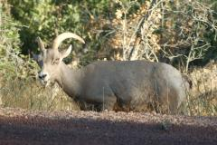 Zion tour - big horn sheep